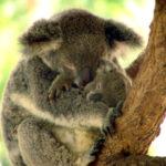 Les koalas sont stressés