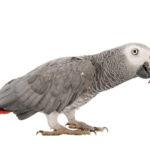 Chez le perroquet, l'isolement provoquerait un raccourcissement des télomères…