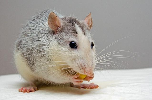 Le stress chez le jeune rat serait bénéfique