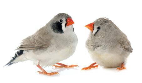 Oiseaux stressés : des proies idéales pour les moustiques